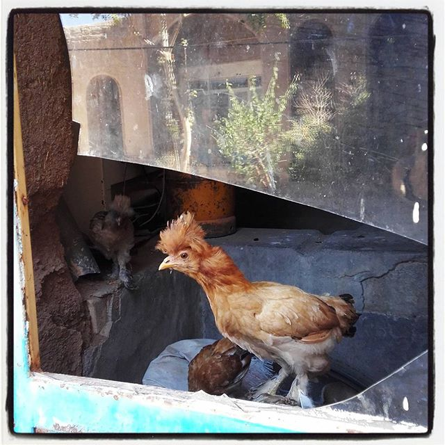 Irańskie kurczaki też są inne :)#kurczak #chicken #iran