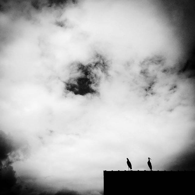 Siedzą dwa #bociany i udają #smierc ;)#mazurygarbate #stork #bw #huaweiphotography