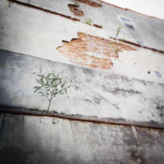 Nigdy się nie poddawaj ;)#jg #jeleniagora #drzewo